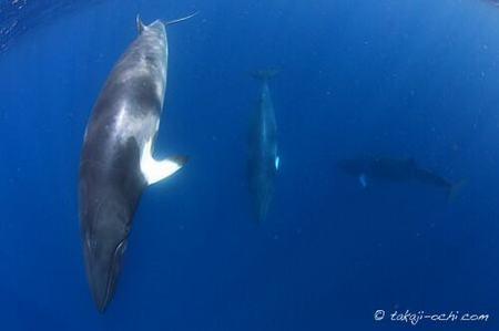minke-whale-20140626-2-500x333.jpg
