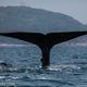 2017年 スリランカweek4 20頭のマッコウクジラの群れと、シロナガスクジラの親子を水中で撮影