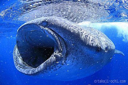 whaleshark07main.jpg