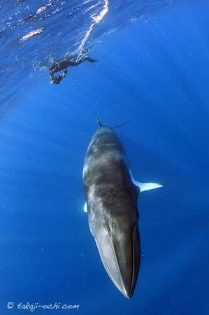 minke-whale-20140626-1-333x500.jpg