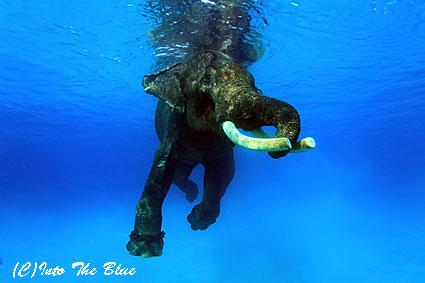 エレファントスイム インドのアンダマン諸島にて | INTOTHEBLUE 水中 ...