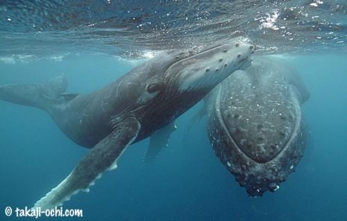 tonga-whale-20140812-1-500x319.jpg