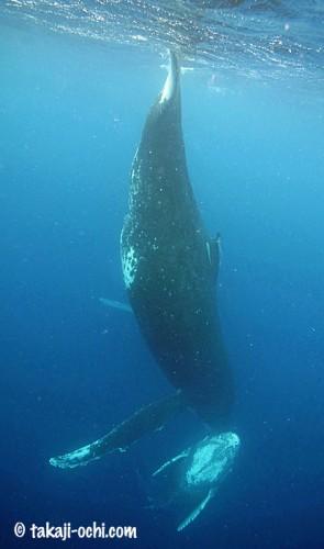 tonga-whale-20140812-2-295x500.jpg