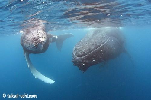 tonga-whale-20140819-1-500x333.jpg