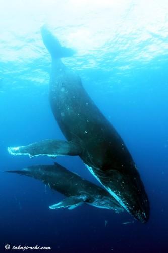 tonga-whale-20140819-2-333x500.jpg