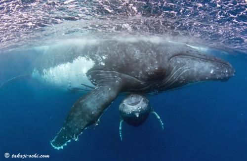 tonga-whale-20140819-3-500x326.jpg