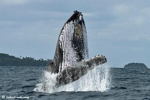 tonga-whale-20140819-4-500x333.jpg