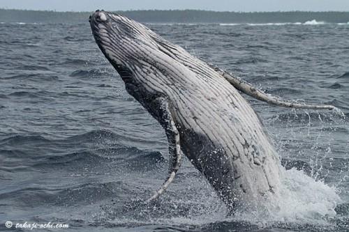 tonga-whale-20140819-5-500x333.jpg