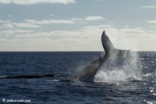 tonga-whale-20140819-8-500x333.jpg